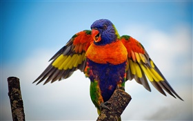 Rainbow lorikeet, wings HD wallpaper