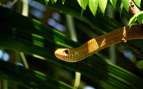 Rat snake HD wallpaper