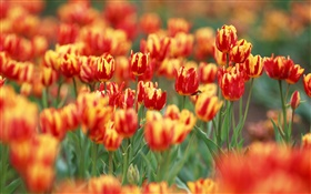 Red and orange colors petals, tulip flowers HD wallpaper
