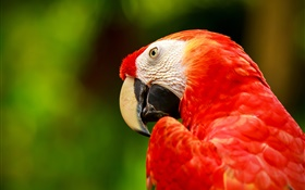 Red feather macaw HD wallpaper