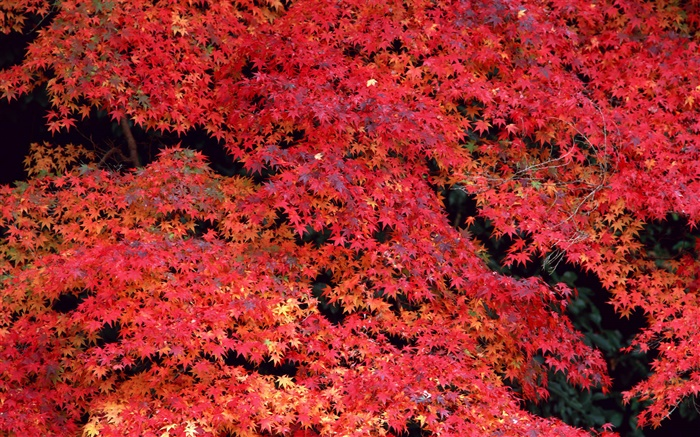 Red leaves, autumn Wallpapers Pictures Photos Images
