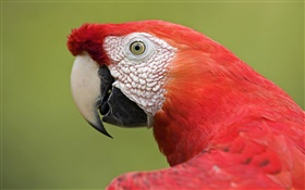 Red macaw close-up
