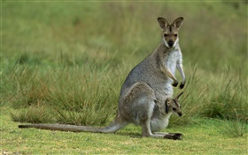 Red-necked wallaby, mother with baby, Australia