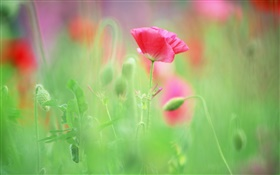 Red poppies, blurry background HD wallpaper