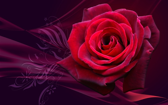 Red rose flower close-up Wallpapers Pictures Photos Images