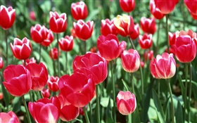Red tulip flowers close-up HD wallpaper