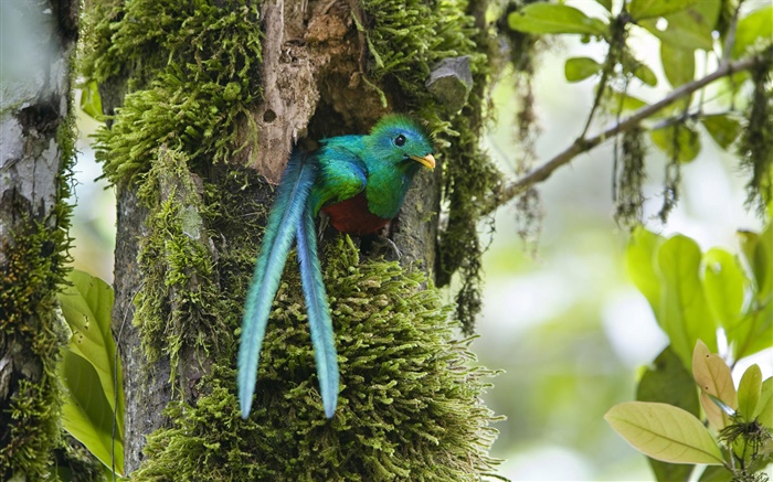 Resplendent Quetzal, out of nest, blue feather bird, Costa Rica Wallpapers Pictures Photos Images