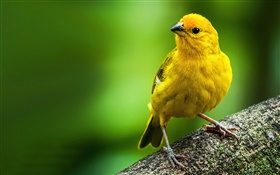 Saffron finch, yellow feather bird HD wallpaper