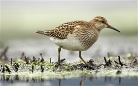 Sandpiper foraging, birds, Canada HD wallpaper