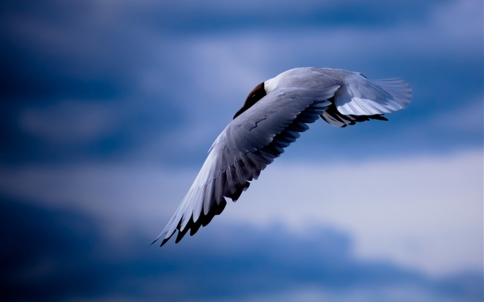 Seagull flying, blue sky Wallpapers Pictures Photos Images