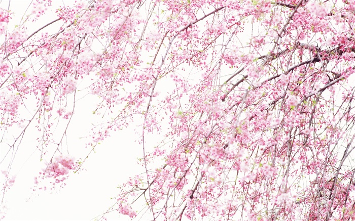 Spring beautiful flowers, pink cherry Wallpapers Pictures Photos Images