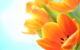 Spring flowers, orange tulips HD wallpaper