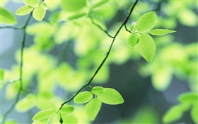 Spring, green leaves HD wallpaper