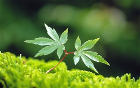 Spring leaves, green maple leaf HD wallpaper