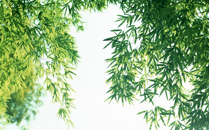 Summer fresh bamboo leaves Wallpapers Pictures Photos Images