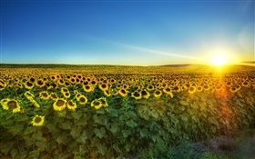 Sunflower in full bloom, sun, field HD wallpaper