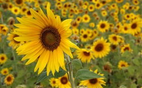Sunflower yellow flowers HD wallpaper