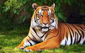 Tiger have a rest, tree, leaves, grass HD wallpaper