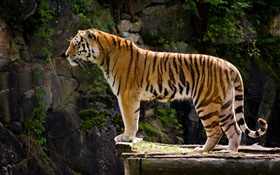 Tiger side view HD wallpaper