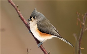 Tufted titmouse, parus, bokeh HD wallpaper
