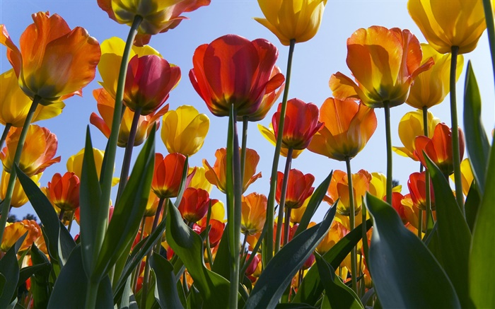 Tulip flowers filed, blue sky Wallpapers Pictures Photos Images