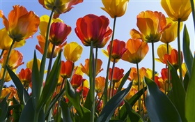 Tulip flowers filed, blue sky HD wallpaper