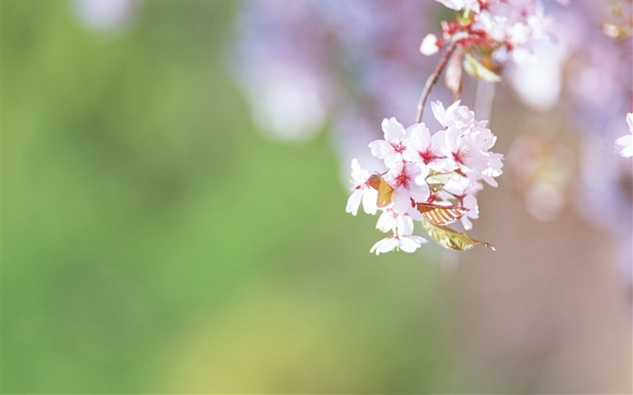 Twigs, cherry flowers close-up Wallpapers Pictures Photos Images