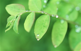 Twigs, green leaves close-up, dew HD wallpaper