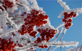 Twigs, red berries, snow, ice HD wallpaper