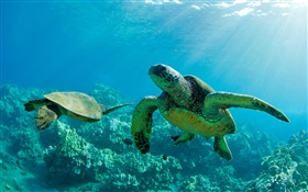 Two Green Sea Turtles, underwater, coral reef, Maui HD wallpaper