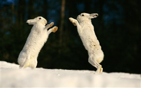 Two rabbits playing HD wallpaper