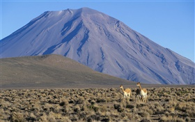 Vicuna, Misti Volcano, Peru HD wallpaper