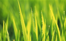 Water drops, green grass after rain HD wallpaper