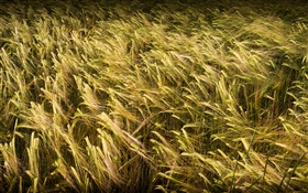 Wheat field close-up HD wallpaper