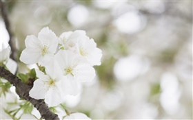 White cherry blossoms close-up HD wallpaper