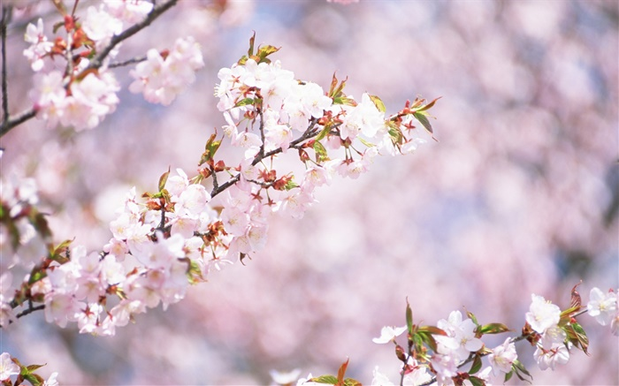 White cherry flowers blossom, bokeh Wallpapers Pictures Photos Images