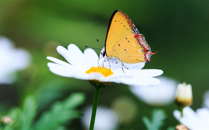 White daisy and the butterfly Wallpapers Pictures Photos Images