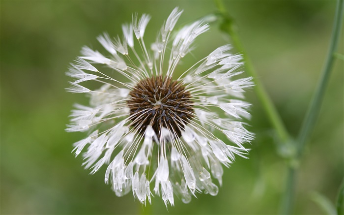 White dandelion flower close-up Wallpapers Pictures Photos Images