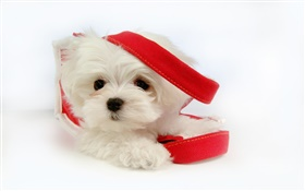 White dog with red ribbon HD wallpaper