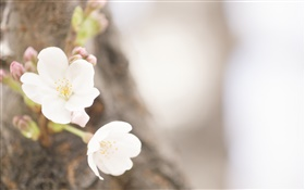 White flowers close-up, spring HD wallpaper