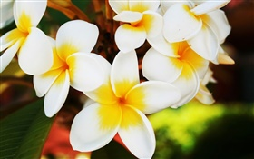 White frangipani flowers HD wallpaper