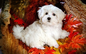 White furry dog, red leaves HD wallpaper