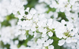 White little flowers, blurry HD wallpaper