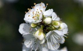 White pear flowers close-up