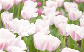 White pink colors tulip flowers HD wallpaper