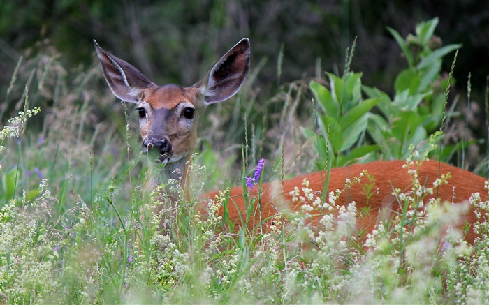 White-tailed deer in grass Wallpapers Pictures Photos Images