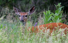 White-tailed deer in grass HD wallpaper