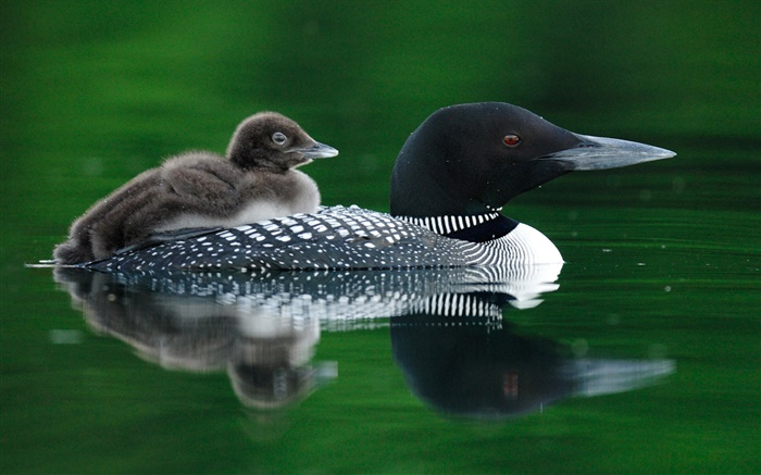 Wild duck mother with cub Wallpapers Pictures Photos Images
