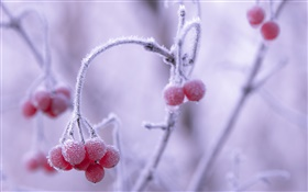 Winter, frost, red berries, bokeh HD wallpaper