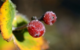 Winter, red berries close-up, leaves HD wallpaper